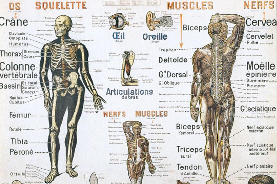 Les systèmes corporels - Les différents systèmes du corps humain