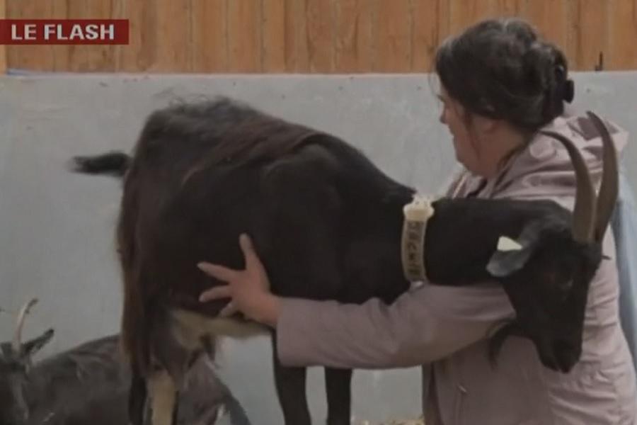 Vidéo de shiatsu caprin - © GrandLille.TV